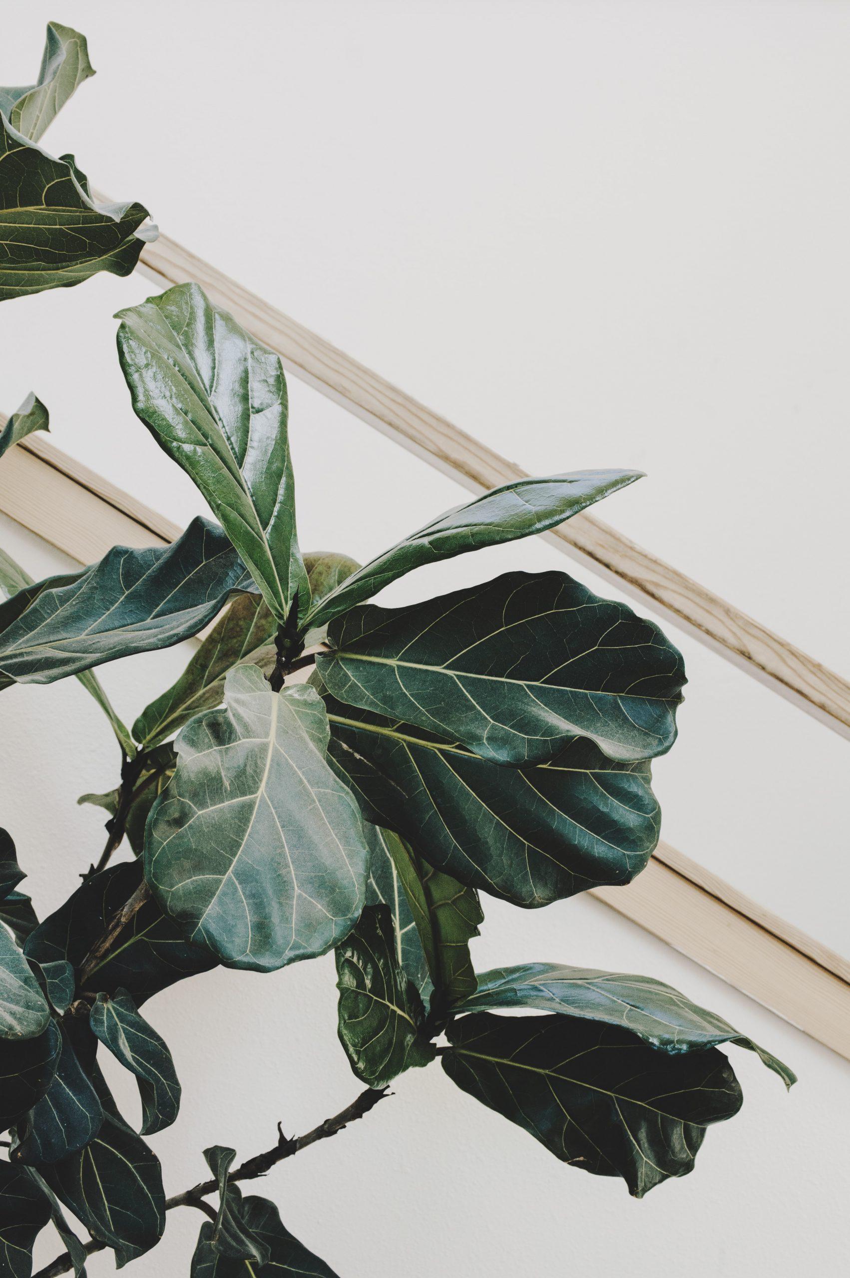 Ficus Lyrata, une des plantes proposées par Planteca