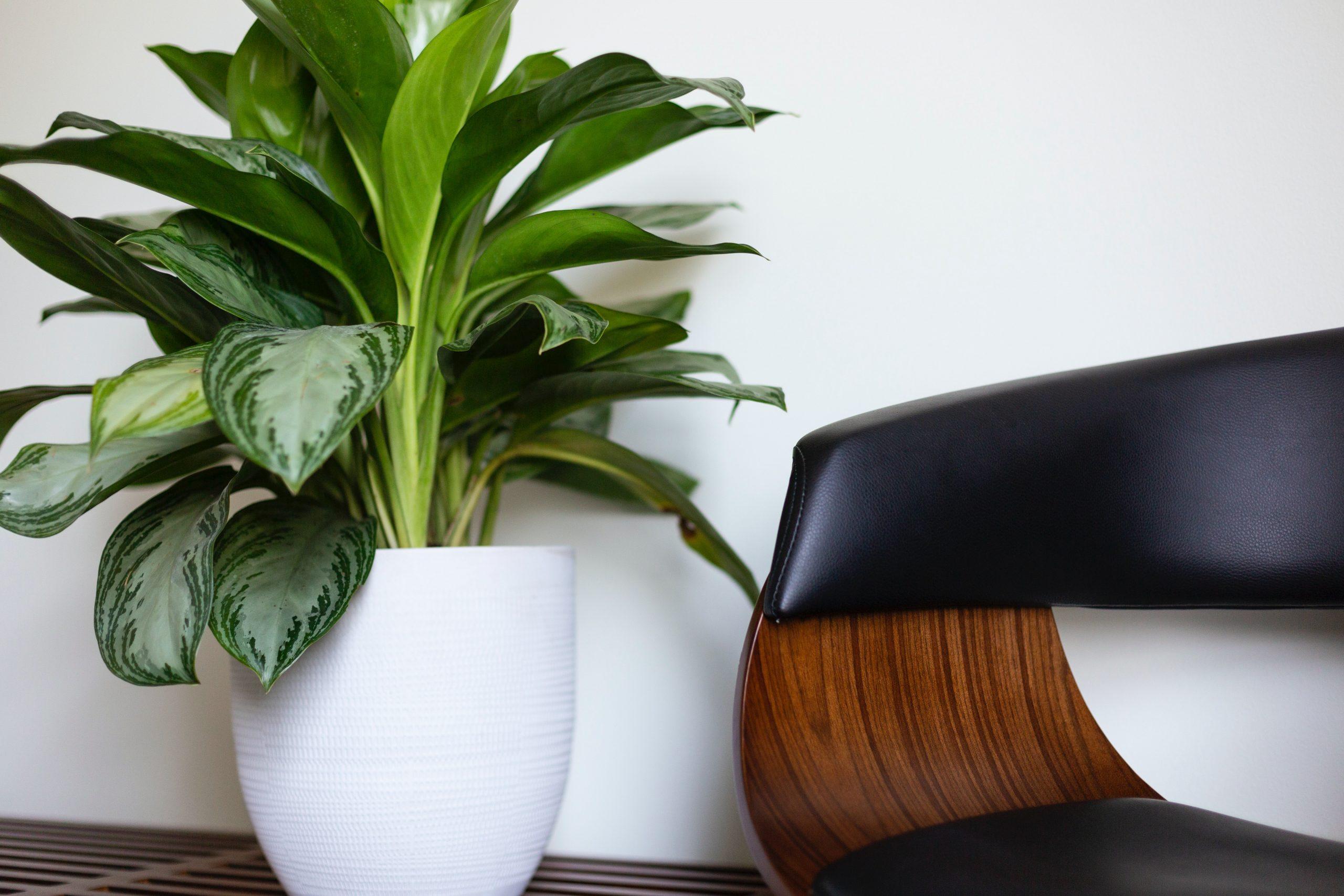 Aglaonema, une plante parfaite pour les salles d'attente